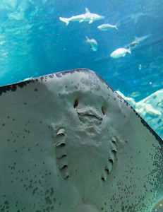 Stingray close up